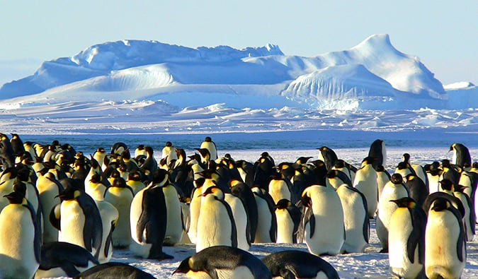 A huge flock of emperor penguins in the snow in Antarctica