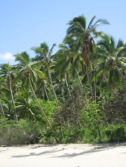 Palm trees on Fiji's beaches