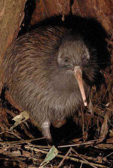 a kiwi bird