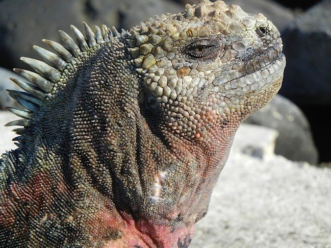 giant land iguana