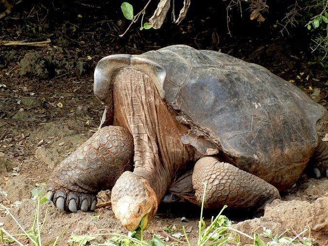 Giant Tortoise eating in the galapagos