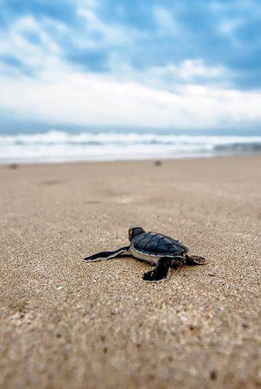 sea turtles in the Gili Islands