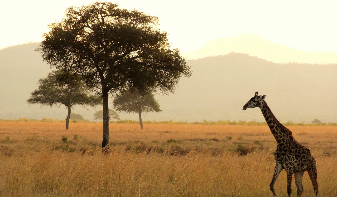 a giraffe in East Africa