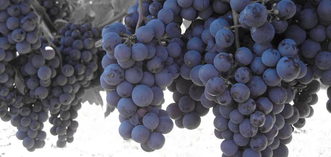 3 Bunches of purple wine grapes on a vine