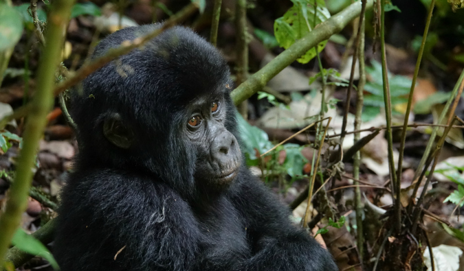 Gorillas in the jungles of Uganda, Africa