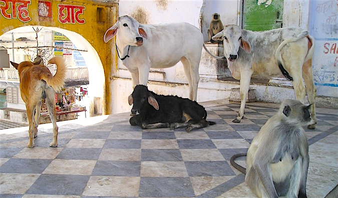 animals in India