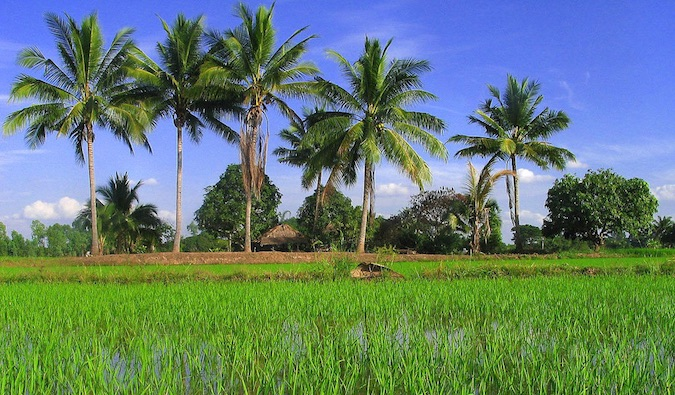 Vivid green palm trees, rice paddies, and a blue sky in rural Isaan, Southeast Asia