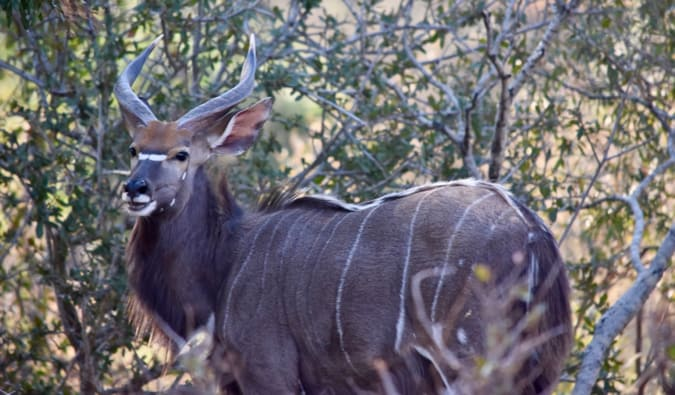 A nyala in Kruger National Park.