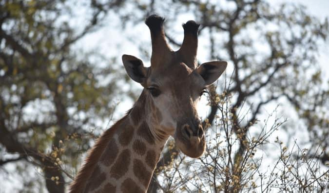 A giraffe eating.
