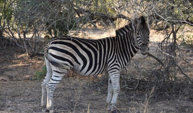 A zebra standing under a tree.
