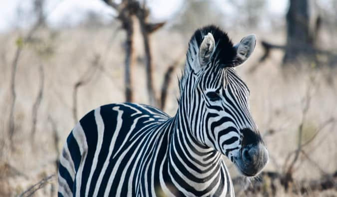 A zebra in Kruger National Park.