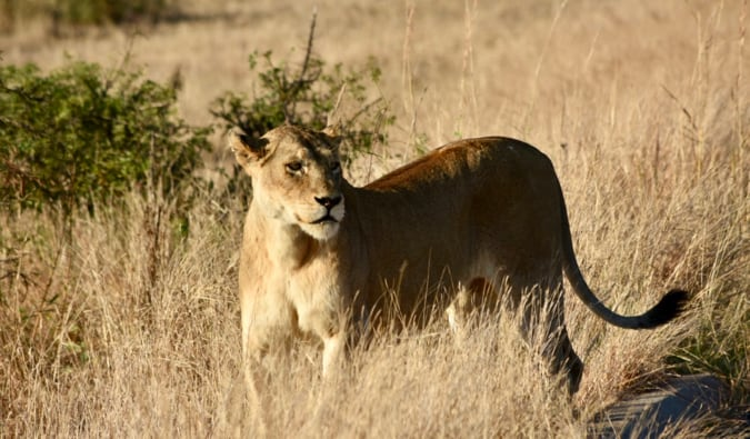 A lioness in tall grass