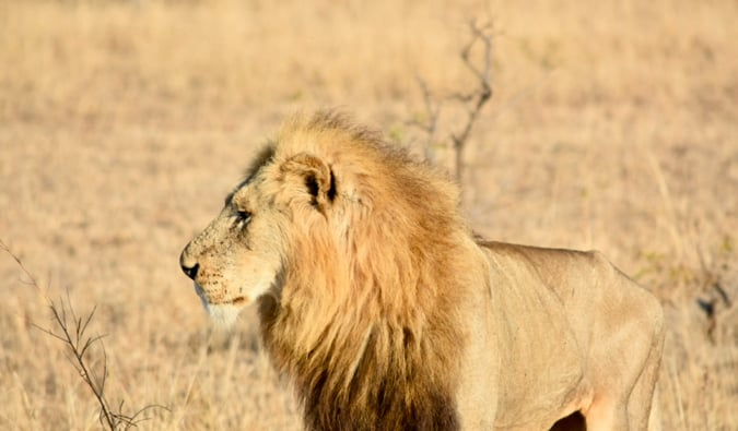 A lion on the savannah.