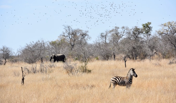 A zebra and elephant in Kruger National Park.