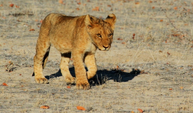 A lion cub in East Africa