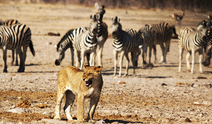 Lions and zebras in Etosha National Park
