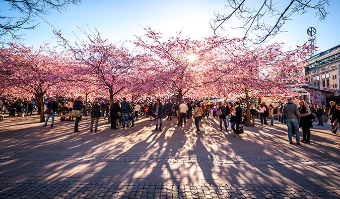 People hanging out near blossoming trees in sunny Stockholm, Sweden