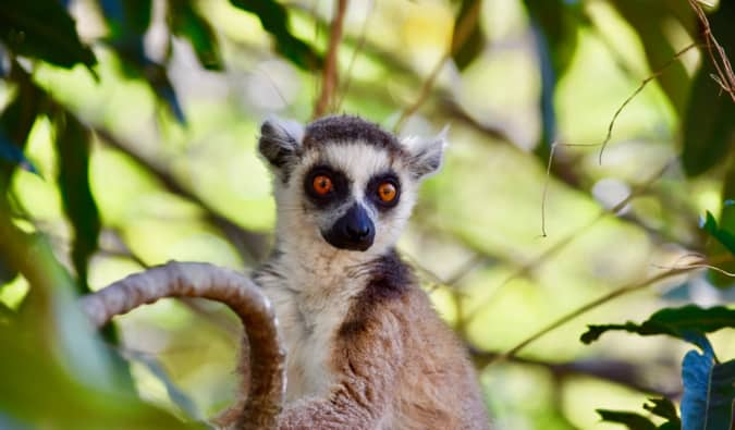 A small brown and grey lemur in a tree