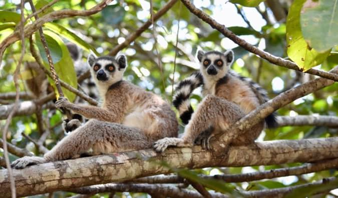 Two grey lemurs sitting in a tree in Madagascar