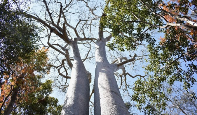 A large tree in Madagascar