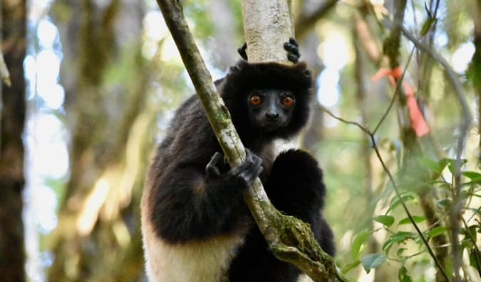 A large lemur in a tree, looking at the camera in Madagascar