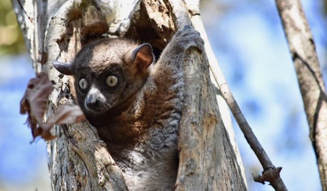A brown lemur hiding in a hole in a tree in the forests of Madagascar