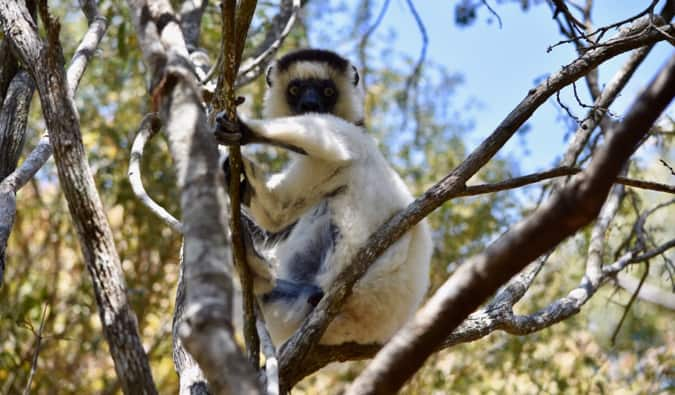 A large white lemur in a tree in Madagascar
