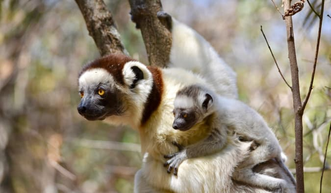 A lemur and its baby resting in a tree together