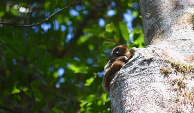 A small lemur hiding in a tree in Madagascar