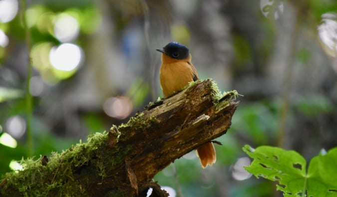 A small, colorful blue and yellow bird in Madagascar, sitting on a branch