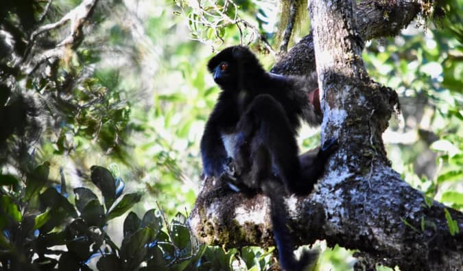 A black lemur in a tree, sitting down looking out over the forest