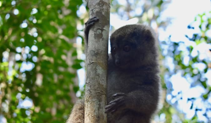 A lemur hiding in the forest