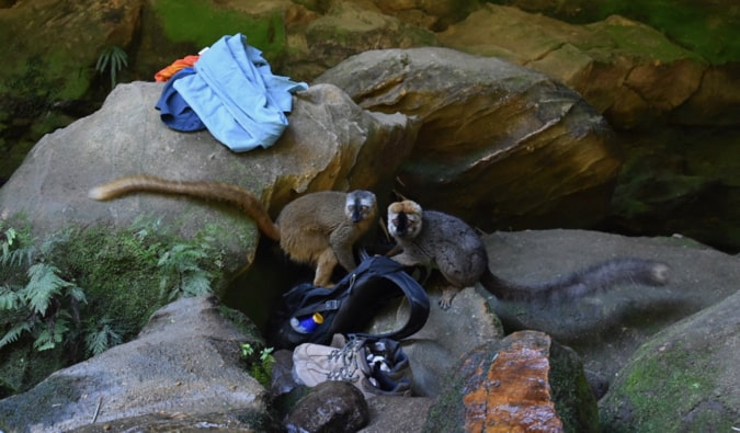 Two lemurs stealing my things