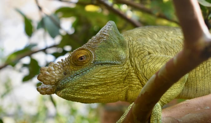 A large green lizard in the jungles of Madagascar