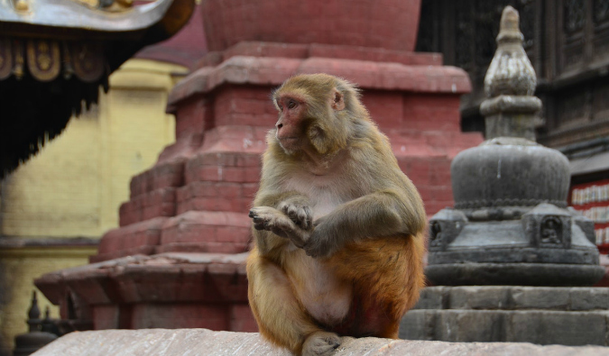 A lone monkey looking at tourists at Bali's Monkey Temple