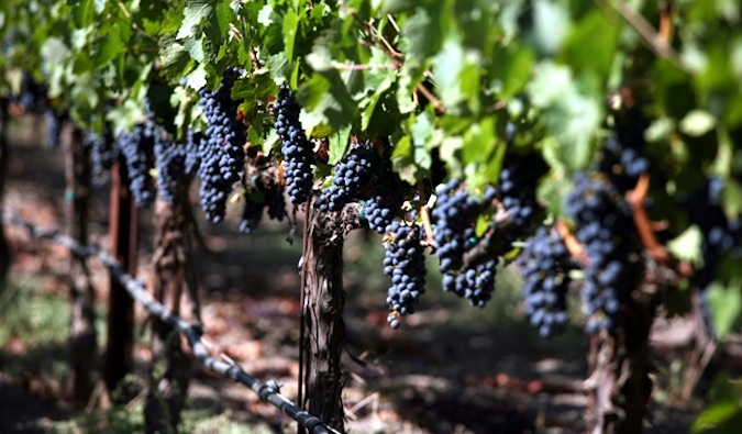 Grapes growing on the vine in Napa Valley, California