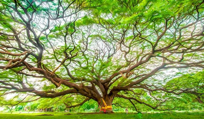 Kanchanaburi Tree by Laurence Norah