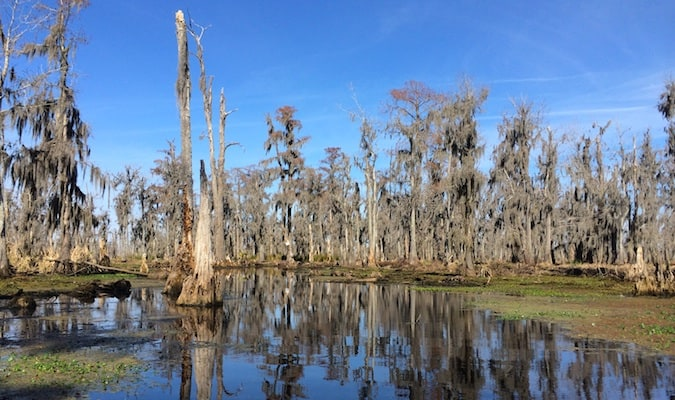 Swamps and Spanish moss-covered trees in the Bayou