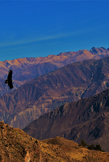 an eagle soaring over Colca Canyon