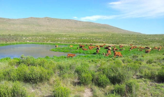 Cows on a farm in South Africa, eating the lush, green grass