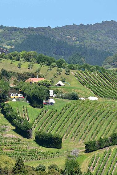 A lush vineyard near Queenstown, NZ