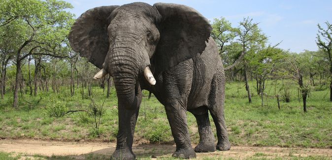 A photo of an elephant from a safari in Kruger National Park, South Africa