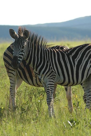 zebras in Swaziland