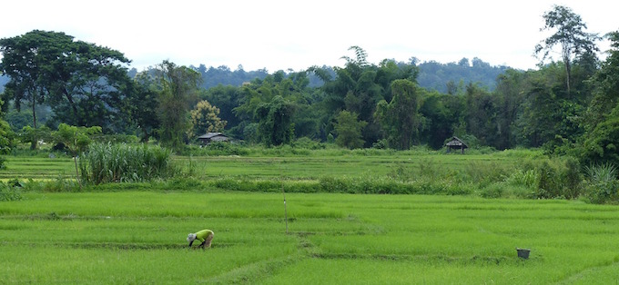 Chiang Mai is very green and full of rice farms