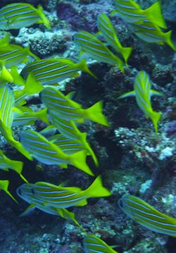 Electric blue and green fish swimming in the reefs of Fiji