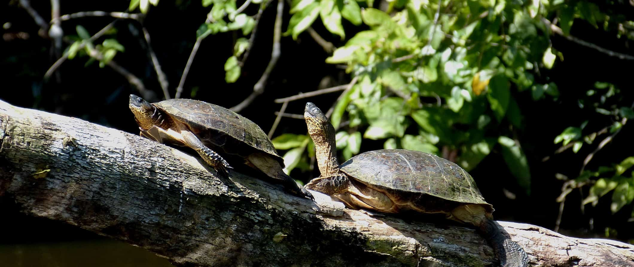 resting turtles in Tortuguero, costa rica