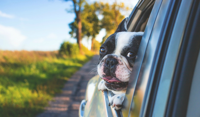 Dog traveling by car