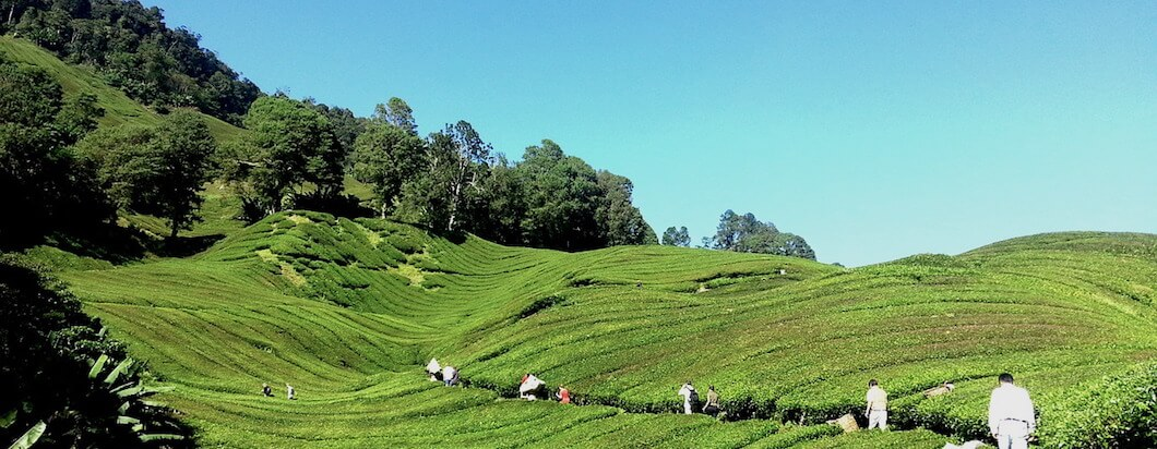 the green hills of the cameron highlands in malaysia