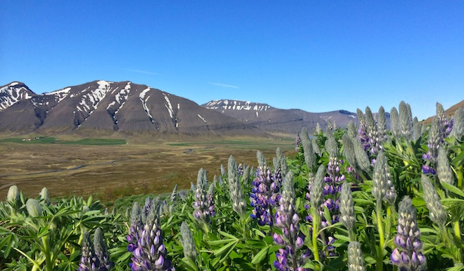 Purple flowers on a sunny day in the Westfjords, Iceland