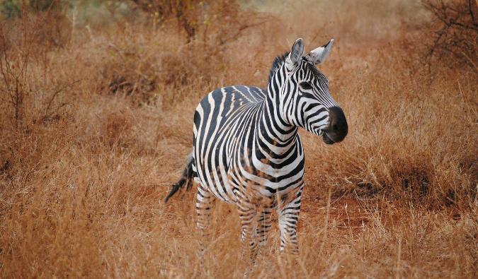 A zebra in Africa